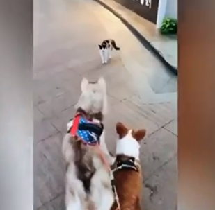 قطة شجاعة تهاجم كلبين ضخمين وتجبرهم على الهروب