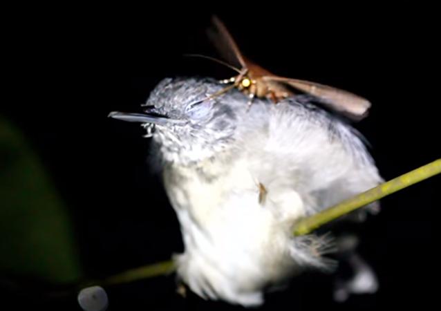 فراشة الأستوائية تشرب دموع طائر إستوائي صغير بحجم العصفور