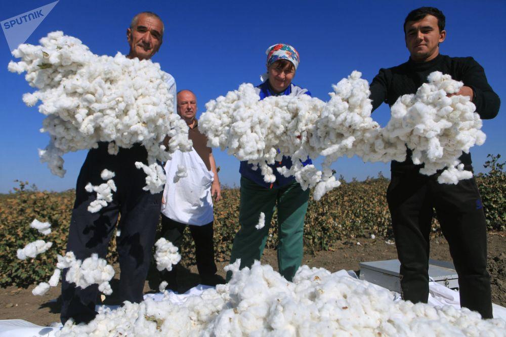 حصاد القطن في مقاطعة إيزوبيليننسكي في إقليم ستافروبول الروسي لأول مرة منذ 50 عامًا