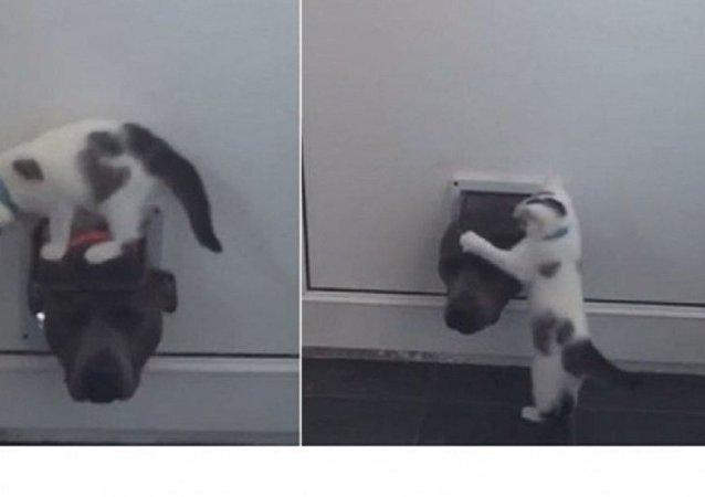 قط صغير يهاجم كلبا ضخما حاول الدخول إلى المنزل