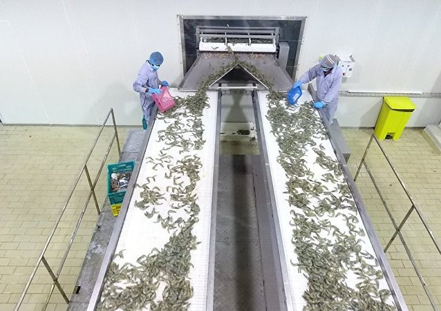 عملية فرز سمك الروبيان