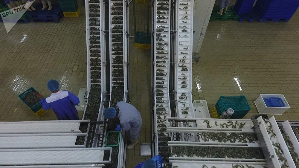 عملية فرز السمك والروبيان