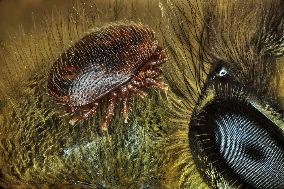 صورة سوس الفاروا الذي يهاجم نحل العسل، للمصور الدكتور أنتوني فرانك، الحائزة على المرتبة الـ 15 في المسابقة