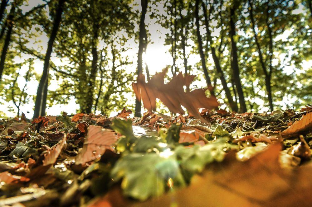 سقطوط أوراق شجر الخريف في غابة في غوديويرسفيلد (Godewaersvelde) شمال فرنسا