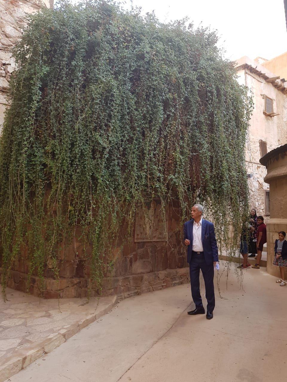 الشجرة المقدسة بدير سانت كاترين