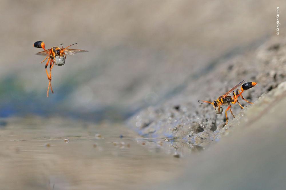 صورة (Mud-rolling mud-dauber)، للمصور جيورجينا ستايتلير من أستراليا، الفائز في فئة سلوك: اللافقاريات بالمسابقة