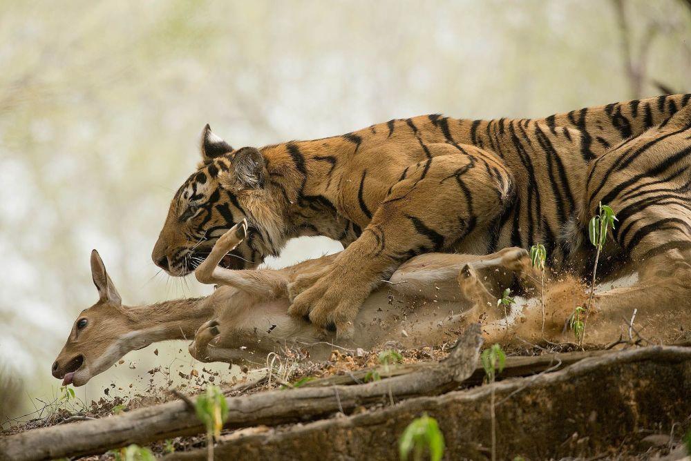 صورة بعنوان The Hunt، للمصور شيفانغ ميهتا، الحاصل على المرتبة الثانية في فئة حيوانات