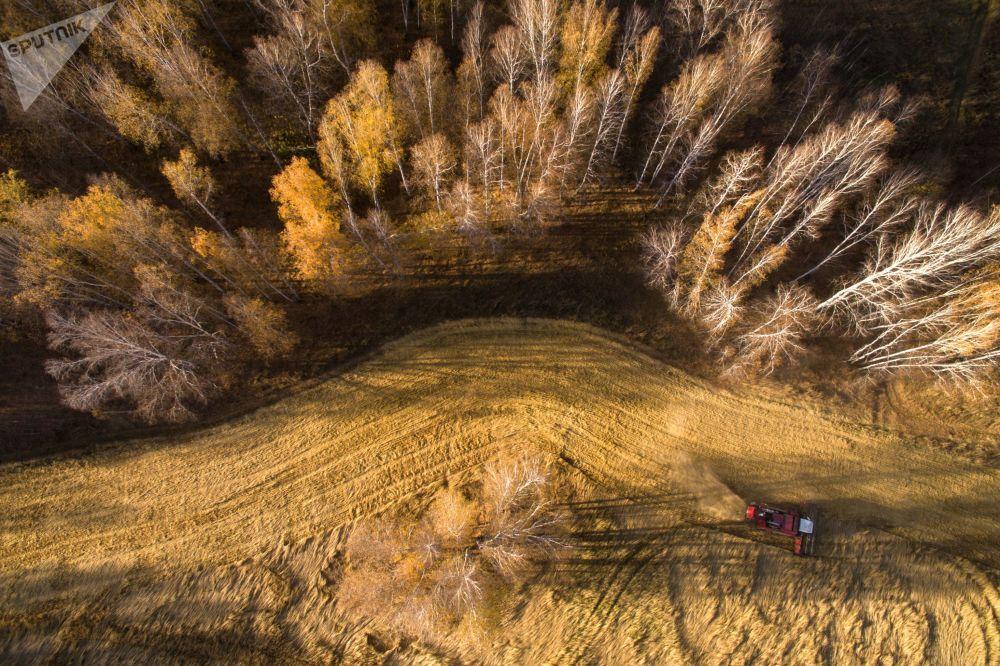 حصاد القمح في حقل سوفخوز مورسكوي في إقليم نوفوسيبيرسك الروسية