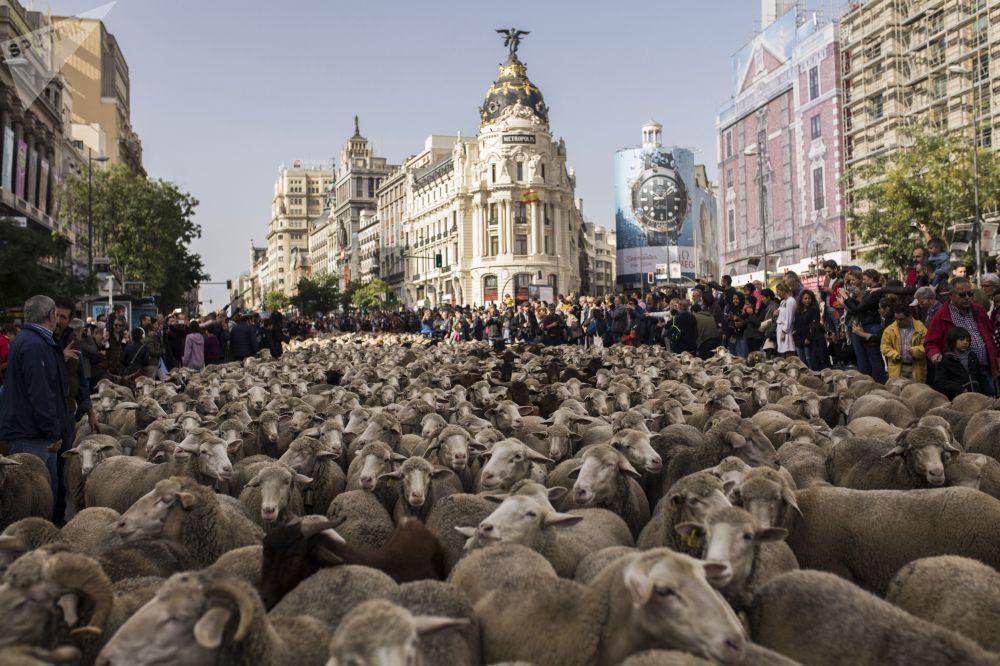 هجرة الخرفان السنوية عبر العاصمة الإسبانية مدريد. حوالي ألف ونصف رأس عبروا شوارع العاصمة الإسبانية في إطار عيد فيستا دي لا تراشومانيكا (Fiesta de la Trashumancia)