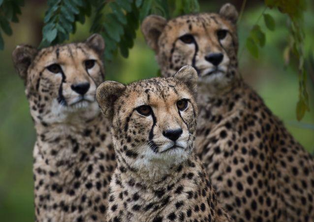 فهود داخل حظائرها في حديقة الحيوانات زو بارك بوفال في سان آيغنان وسط فرنسا، في 29 أكتوبر/ تشرين الأول 2018