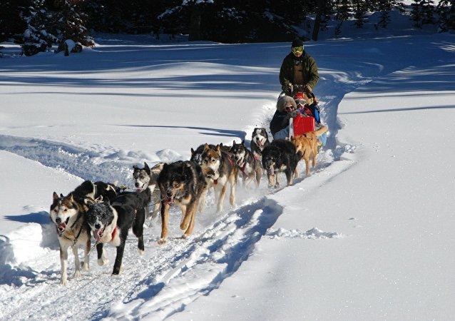 كلاب تجر عربة