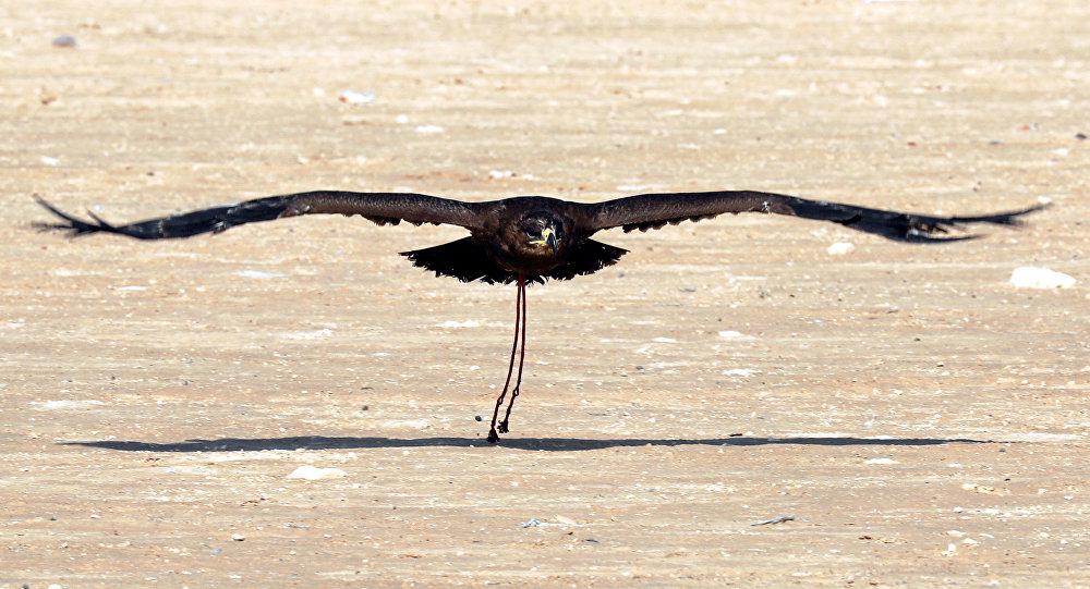 صقر يطير بعد إطلاقه خلال احتفال يوم الصقارة العالمي في صحراء برج العرب بالإسكندرية