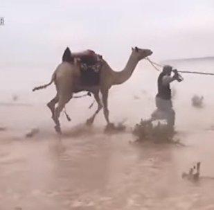 بالفيديو...قافلة جمال تعبر صحراء غمرتها فيضانات في السعودية