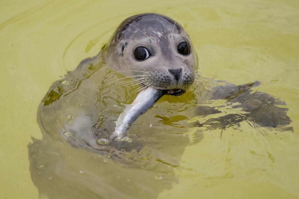 ختم صغير يأكل سمكة في بركة السباحة في مأوى Seehundstation Friedrichskoog للأختام الصغار في ساحل بحر الشمال، شمال غرب ألمانيا 20 نوفمبر/ تشرين الثاني 2018
