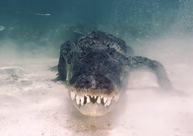 بالفيديو... مغامر يلقي نظرة  داخل  فك  تمساح
