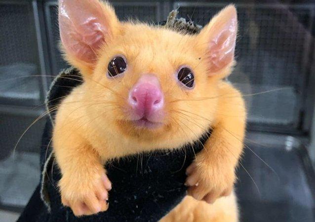 العثور على بيكاتشو في أستراليا