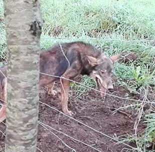ذئب يهاجم منقذه وكاد أن يفترسه