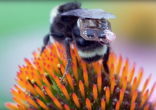 العلماء يحولون النحل إلى درونات ويثبتوا على ظهورهم حقيبة مع شريحة إلكترونية