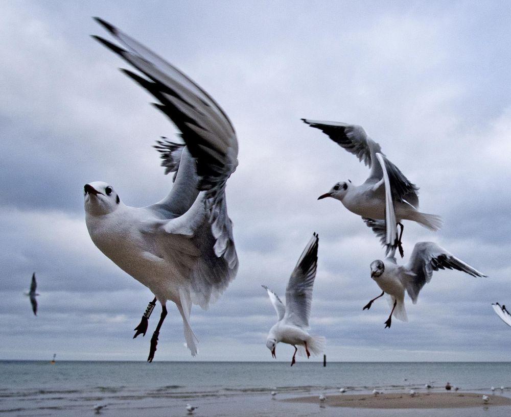 طيور النورس قبالة شواطئ بحر البلطيق في ألمانيا