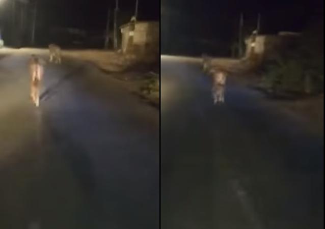 عجل صغير يهاجم أسد ويجبره على الهروب