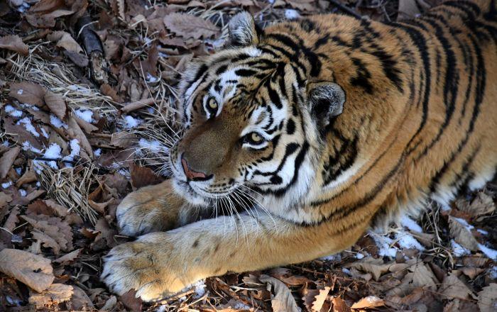 الثاني في اسبوع… نفوق نمر نادر في إندونيسيا
