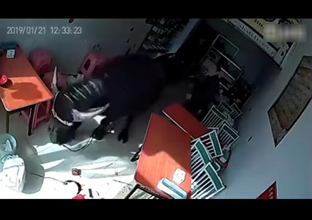 ثور يهجم على امرأة في مطعم