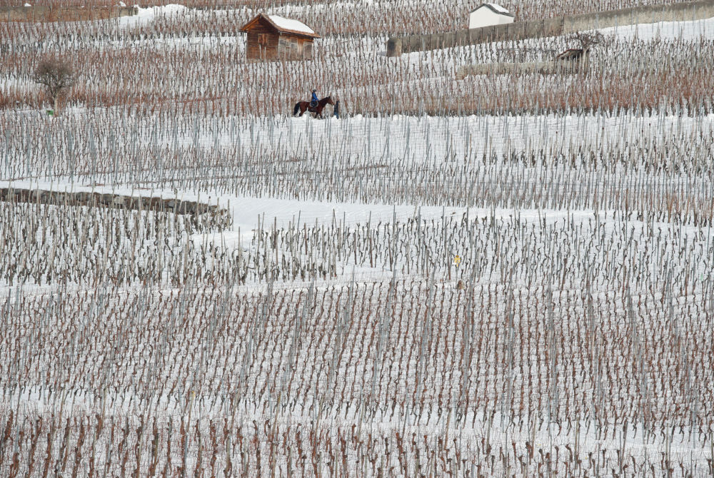 خيل وسط كروم العنب المغطاة بالثلوج بالقرب من جنينز، سويسرا 20 يناير/ كانون الثاني 2019