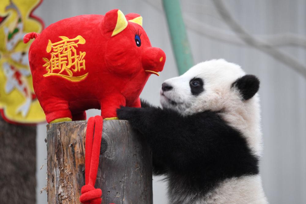 شبل الباندا يلعب مع لعبة خنزير محشوة، خلال حدث الاحتفال بالسنة القمرية الصينية الجديدة، التي وفق التقويم الصيني عام الخنزير، في حديقة الباندا في ولونغ بمقاطعة سيتشوان، الصين 31 يناير/ كانون الثاني 2019
