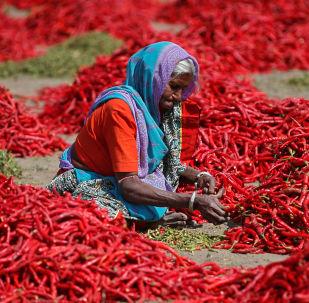 موسم حصاد الفلفل الأحمر (تشيلي) في أحمد آباد، الهند 6 فبراير/ شباط 2019
