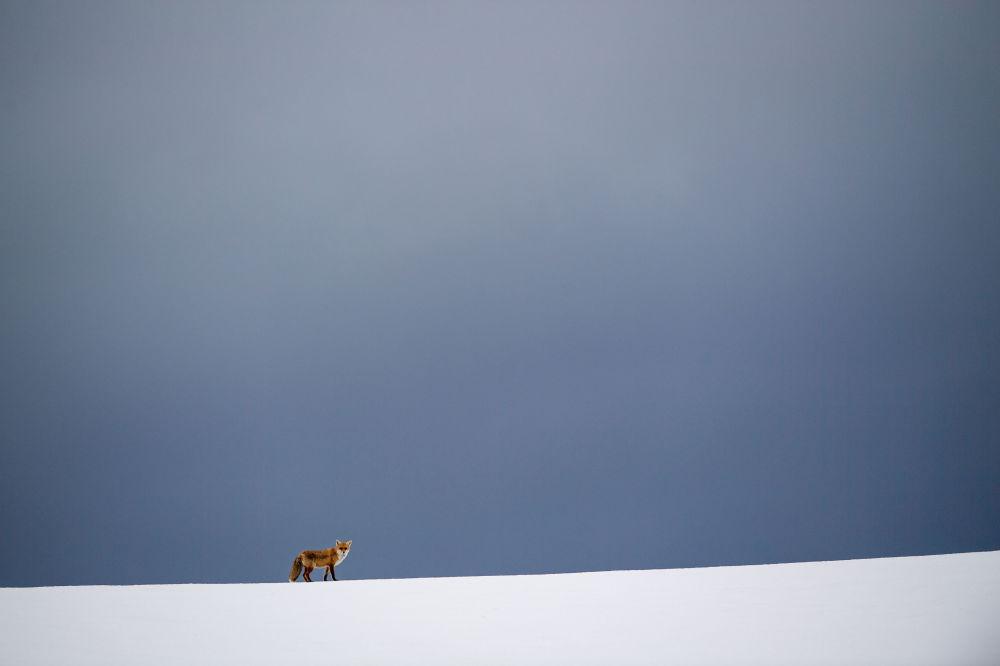 ثعلب يظهر في حقل مغطى بالثلوج في إيركينبولينغن، جنوب ألمانيا 11 فبراير/ شباط 2019