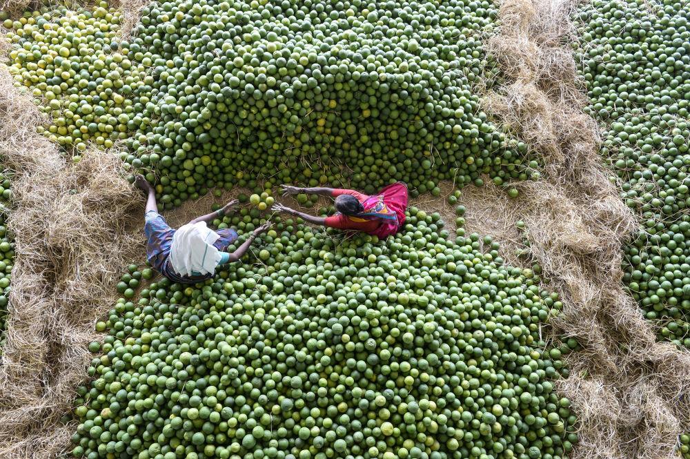 عمال يختارون فاكهة موسامبي، والتي تسمى أيضا بالبرتقال الحلو، في سوق الفاكهة غاديانارام على مشارف حيدر أباد، الهند 11 فبراير/ شباط 2019