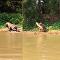 ياغوار ينقض على تمساح في النهر ويفترسه