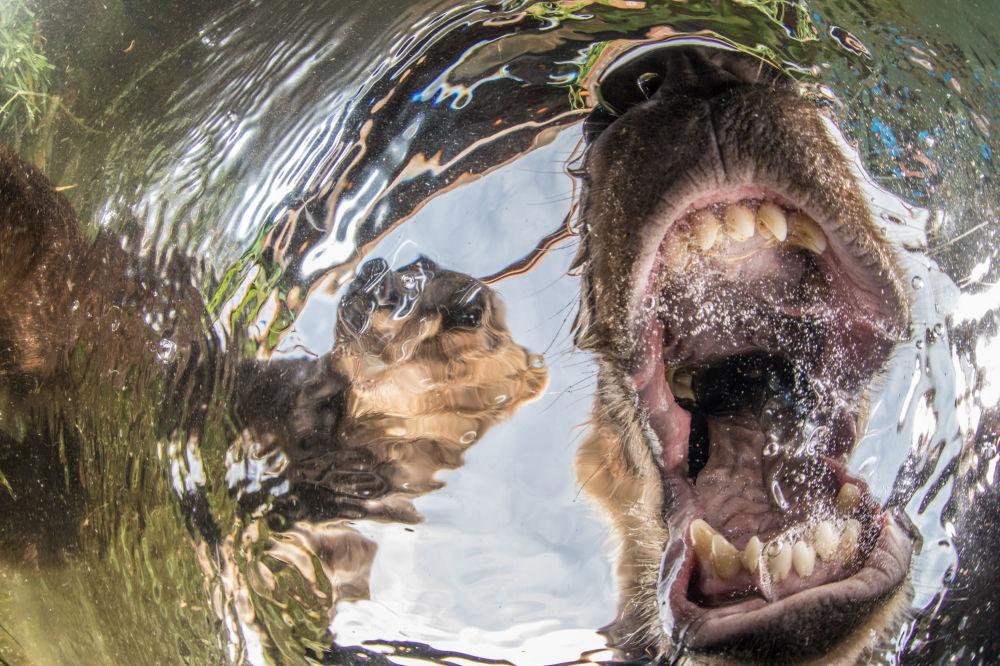 صورة بعنوان صغار الدب الفضوليين (Curios bear's cubs)، للمصور الروسي مايك كوروستيليف (Mike Korostelev)، الحائز على جائزة الإشادة بشدة في فئة زاوية عريضة