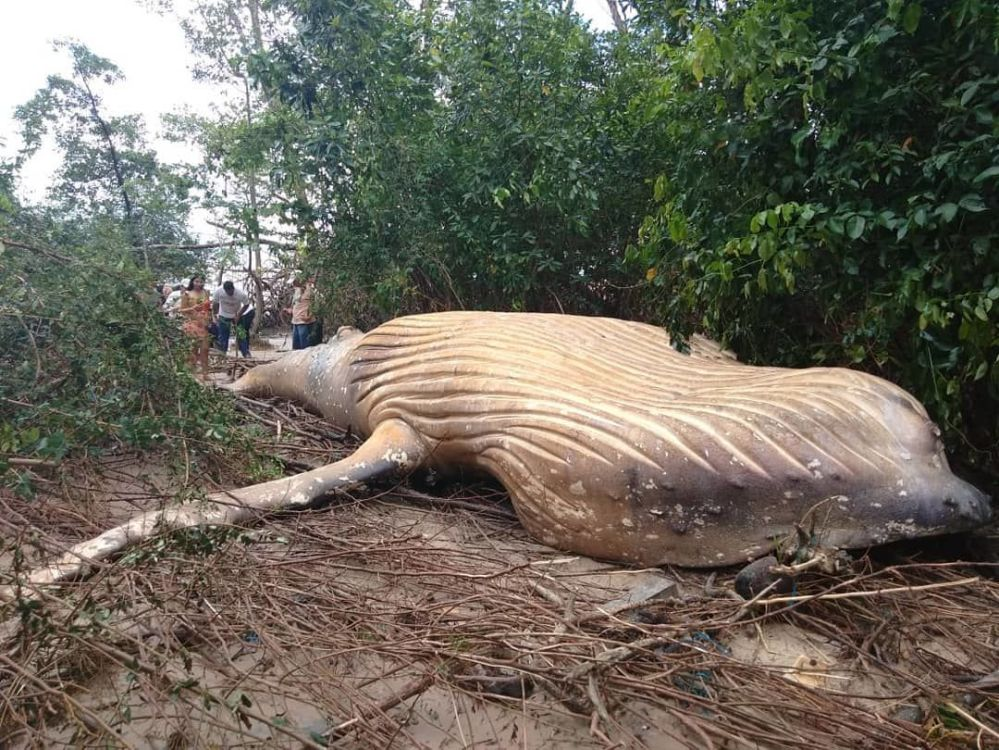 الحوت الأحدب وجد ميتا في غابات الأمازون