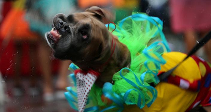 كلب في مهرجان لاستعراض الكلاب في ريو دي جانيرو في البرازيل