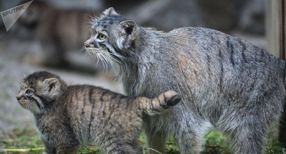 قطة بالاس وصغيرها في حديقة نوفوسيبيرسك للحيوان