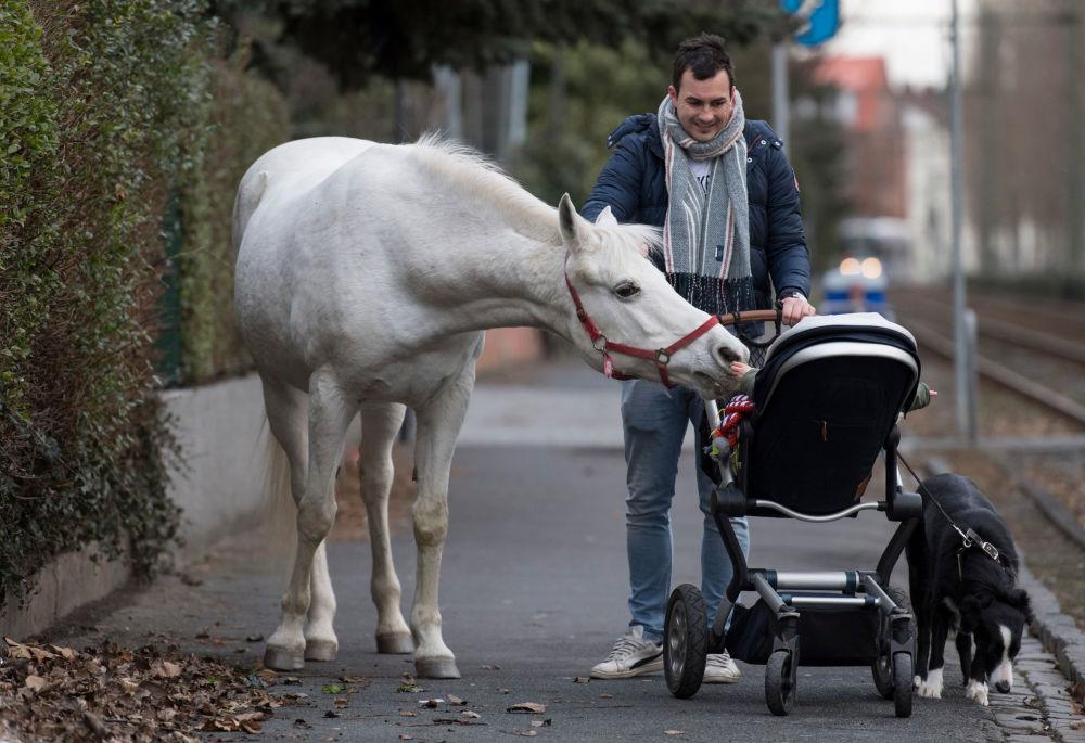 حصان يدعى جيني يُلاعب طفلاً في عربتها، في مدينة  فرانكفورت-أم-ماين، ألمانيا 8 مارس/ آذار 2019
