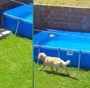 كلب شجاع ينقذ طائر من الغرق في حوض سباحة