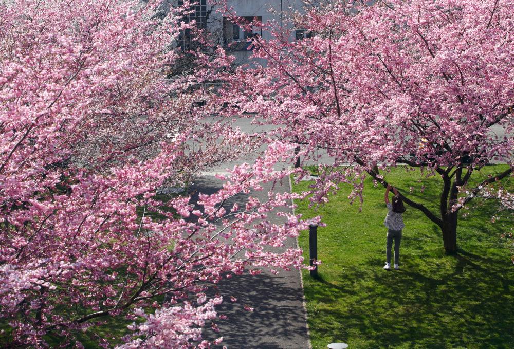تفتح أزهار شجر الكرز (ساكورا) في لوزان، سويسرا 25 مارس/ آذار 2019