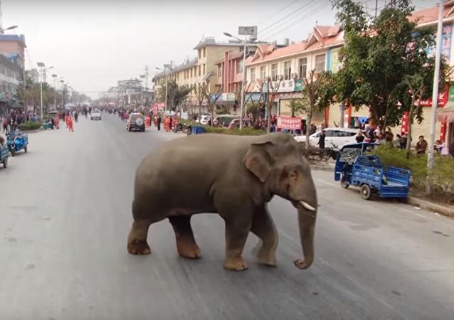 فيل يتجول في شوارع مدينة صينية