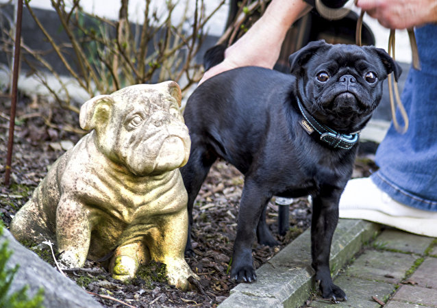 In this Wednesday, Feb. 27, 2019 photo pug dog Edda is pictured in Duesseldorf, Germany. Officials in Germany are defending their decision to seize an indebted family's pet pug and sell it on eBay, saying the move was a last resort because authorities were unable to find anything else to take.
