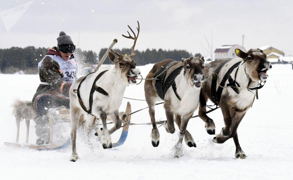 مشارك في سباق زلاجات الرنة في مهرجان يوم راعي الرنة في ناديم الروسية