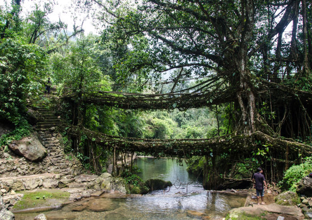 جسر من الجذور الخضراء مكون من مستويين في الهند