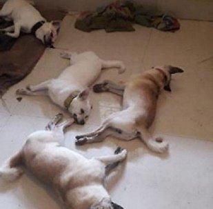 كوبرا تقتل 4 كلاب حاولوا منعها من دخول منزل صاحبهم