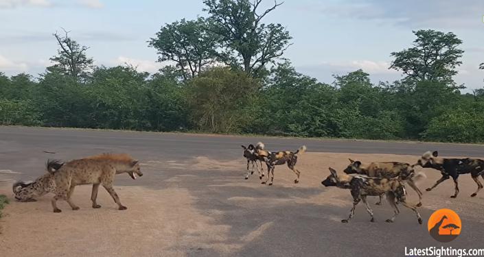 معركة بين قطيع من الكلاب البرية وعدة ضباع