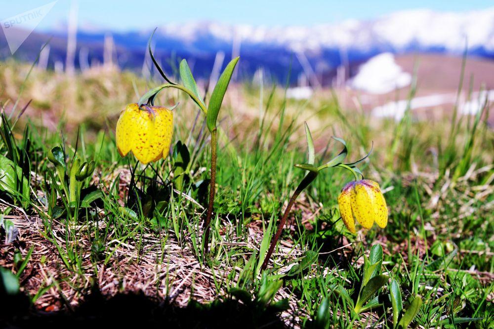 أزهار على أراضي المحمية الطبيعية القوقازية باسم خ. غ. شابوشنيكوف
