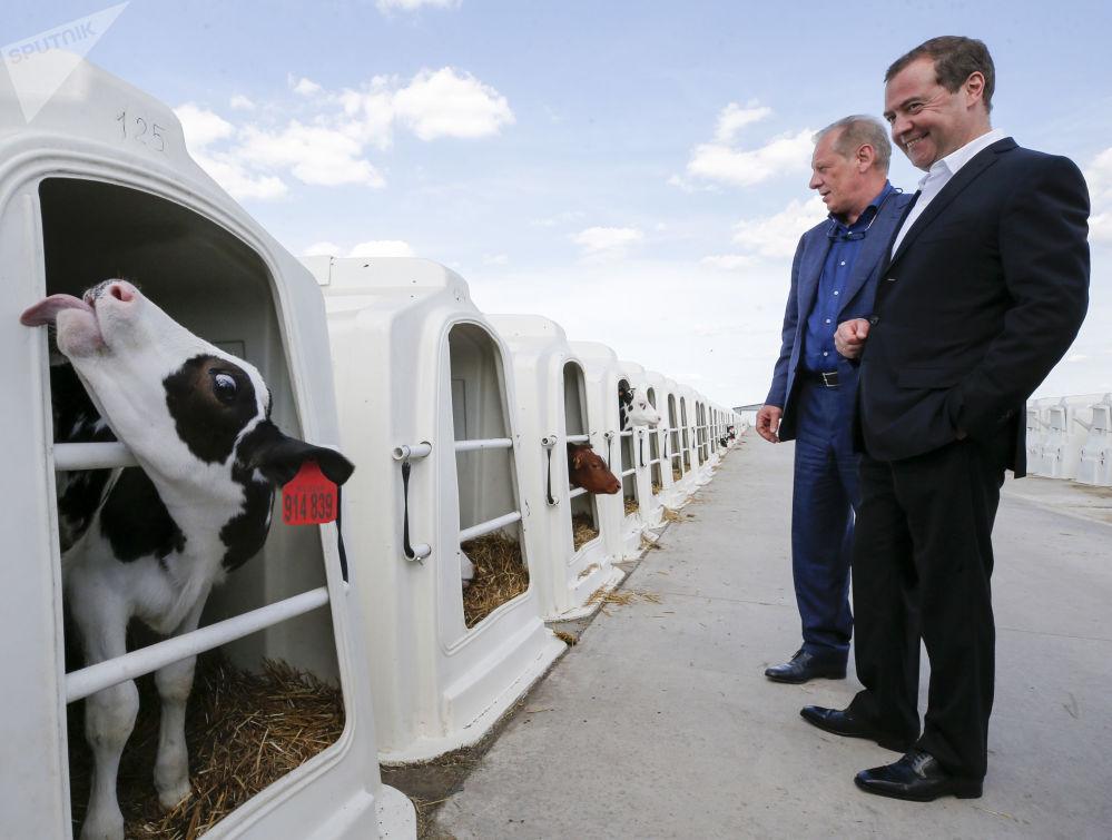 رئيس الوزراء الروسي ديمتري ميدفيديف يزور مؤسسة زاريتشيه الزراعية في منطقة فورونيج، 21 مايو/ أيار 2019