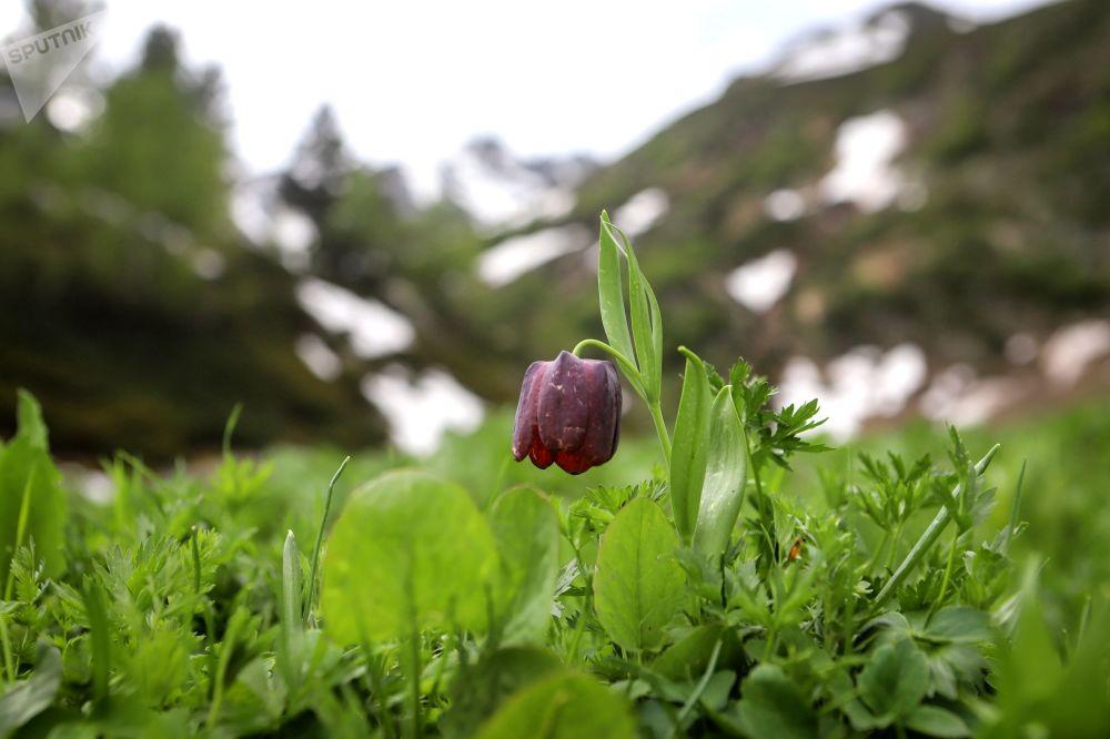 زهرة التيوليب النادرة (Hortus Bulborum) مدرجة في الكتاب الأحمر، في أراضي وادي صوفيا في جمهورية كراتشاي - تشركيسيا
