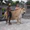 أضخم نمر في العالم