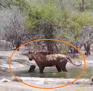 أنثى نمر كادت أن تقتل صغيرها أثناء محاولتها إنقاذه من نمر أراد أن يفترسه